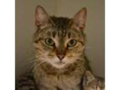 Adopt Sunflower a Brown or Chocolate Domestic Shorthair cat in Oyster Bay
