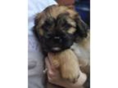 Adopt Princeton a Brown/Chocolate Shih Tzu / Terrier (Unknown Type