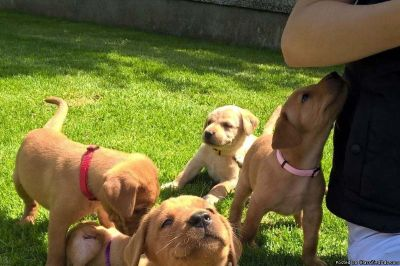 Labrador Retriever Puppies for good homes