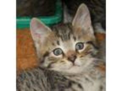 Adopt Enchalada a Tabby, Domestic Short Hair