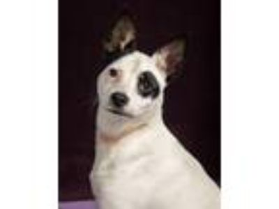 Adopt Sprout- PS a Rat Terrier