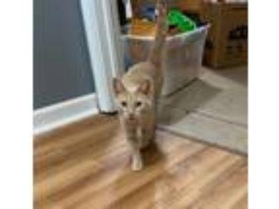 Adopt Prim a Orange or Red American Shorthair cat in Poplar Grove, IL (25654904)