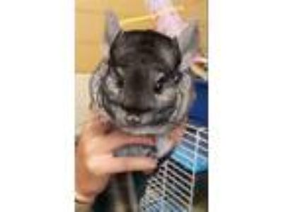 Adopt Chinchy a Chinchilla small animal in Monterey, CA (25910550)