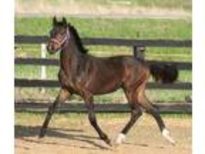 2018 Sir GregoryCome Back iiMichellino Filly Carmen BEC