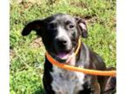 Adopt Blossom a Black - with White Labrador Retriever / Mixed dog in Newberry
