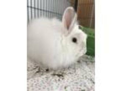 Adopt Christhopper Lloyd a Angora Rabbit