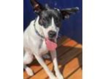 Adopt Jackson a White Jack Russell Terrier / Shepherd (Unknown Type) / Mixed dog