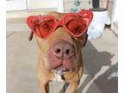 Adopt Redmond a Tan/Yellow/Fawn - with White Pit Bull Terrier / Mixed dog in