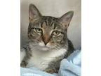 Adopt Penny a All Black Domestic Shorthair / Domestic Shorthair / Mixed cat in