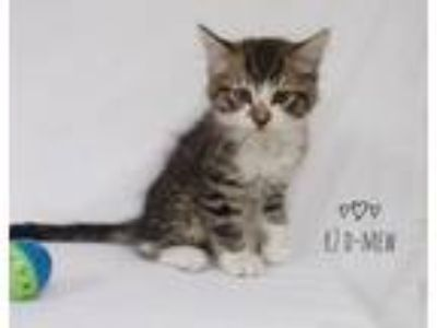 Adopt R2 D-Mew a Domestic Short Hair