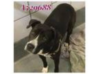 Adopt SAVANNAH a Black - with White Labrador Retriever / Mixed dog in San