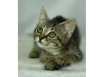 Adopt Chicken a Gray, Blue or Silver Tabby Domestic Shorthair (short coat) cat