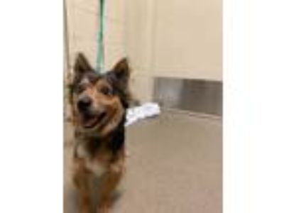 Adopt Chapman* a Brown/Chocolate Mixed Breed (Small) / Mixed dog in Anderson
