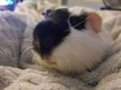 Adopt Marshmallow a Guinea Pig, Short-Haired