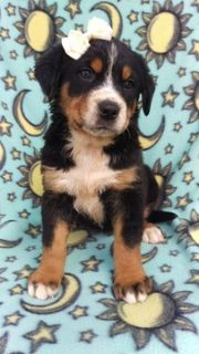 Greater Swiss Mountain Dog PUPPY FOR SALE ADN-93388 - AKC Greater Swiss Mountain Dog Puppy