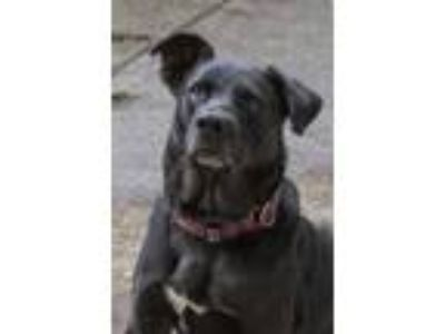 Adopt Simon a Black Labrador Retriever / Mixed dog in Lynnwood, WA (25332071)