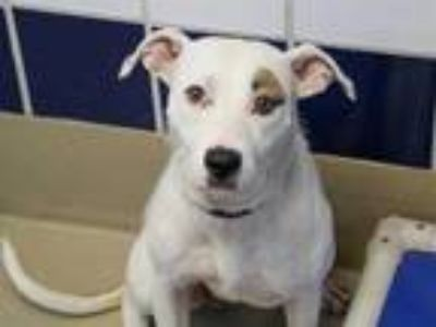 Adopt *ANNE BONNY a White - with Brown or Chocolate Labrador Retriever / Mixed
