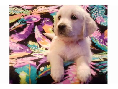 ENGLISH CREME GOLDEN RETRIEVERS, AKC, 6 MALES, ...