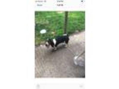 Adopt Pluto - Complete an Application a Basset Hound