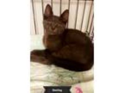 Adopt Sterling a Gray or Blue Domestic Shorthair (short coat) cat in Key Largo