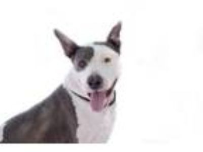 Adopt Sweetie a Bull Terrier, Staffordshire Bull Terrier