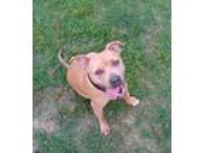Adopt Chester a Boxer, Pit Bull Terrier