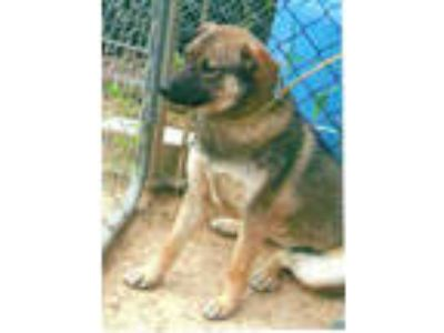 Adopt Dakota a German Shepherd Dog