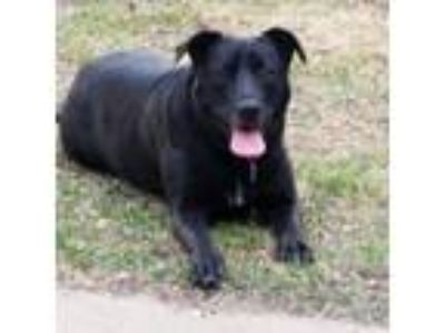 Adopt Alice AKA Ali a Black Labrador Retriever