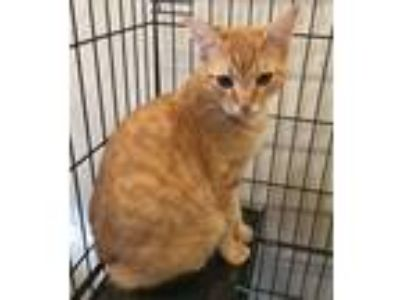 Adopt Roux a Domestic Short Hair