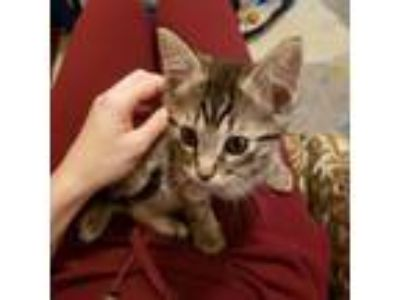 Adopt Lock a Gray or Blue Domestic Shorthair / Domestic Shorthair / Mixed cat in
