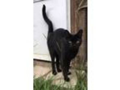 Adopt Onyx a All Black Domestic Shorthair / Mixed (short coat) cat in Mobile