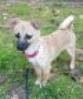 Lucy Pug - Chihuahua Dog