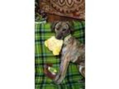 Adopt Lovey a Shepherd, Boxer
