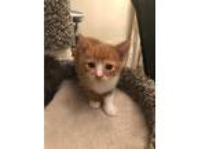 Adopt O.G. 19-0075 a Orange or Red (Mostly) Domestic Shorthair / Mixed (short