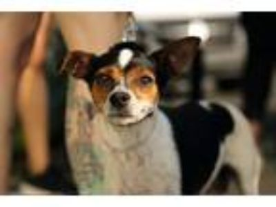 Adopt Beanie a Tricolor (Tan/Brown & Black & White) Rat Terrier / Mixed dog in