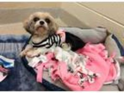 Adopt *FURBY a White - with Brown or Chocolate Shih Tzu / Mixed dog in Chapel