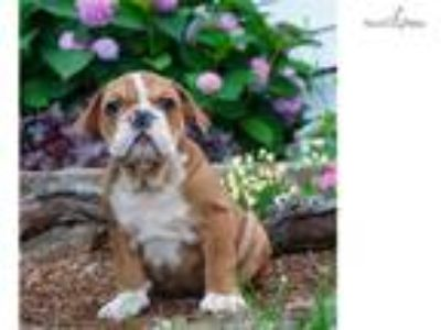 Danko Akc English Bulldog NICE!