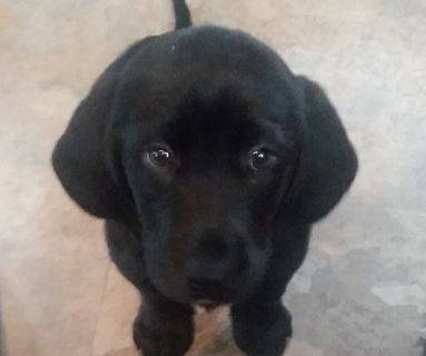 Basset Hound-Labrador Retriever Mix PUPPY FOR SALE ADN-130964 - Beautiful Bassador