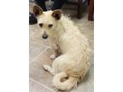 Adopt Spencer Tracy a Tan/Yellow/Fawn Terrier (Unknown Type