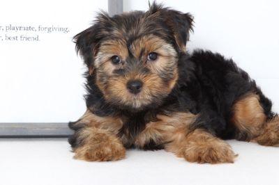 Yorkshire Terrier PUPPY FOR SALE ADN-99522 - Murphy Male Yorkie Puppy