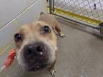 Adopt Aliza a Brown/Chocolate - with White American Pit Bull Terrier / Mixed dog