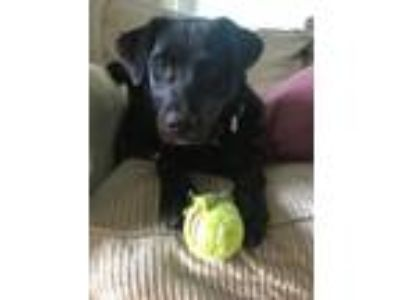 Adopt Jewels a Black Labrador Retriever, Australian Shepherd