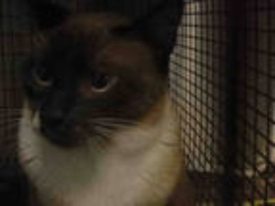 Adopt ABI a Brown or Chocolate Siamese / Mixed (short coat) cat in Chatsworth