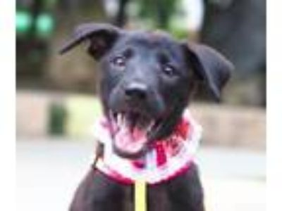 Adopt Debby a Black Labrador Retriever / Terrier (Unknown Type
