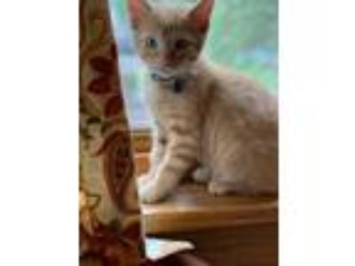 Adopt Finley (Fostered in Lincoln) a Orange or Red Tabby Domestic Shorthair /