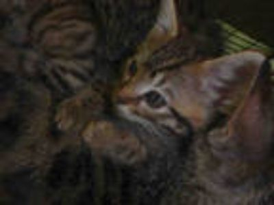 Adopt DINO a Brown Tabby Domestic Shorthair / Mixed (short coat) cat in Los