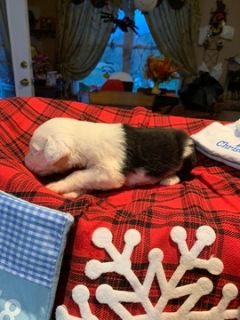 Old English Sheepdog PUPPY FOR SALE ADN-105349 - Old English Sheepdog Puppies