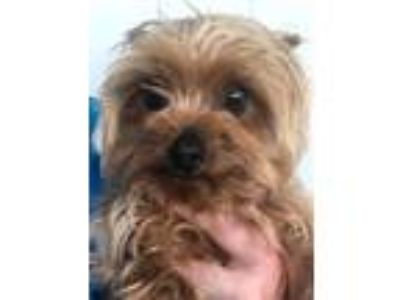 Adopt Stevie a Yorkshire Terrier