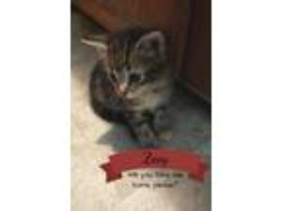 Adopt Zoey a Brown or Chocolate Domestic Shorthair (short coat) cat in