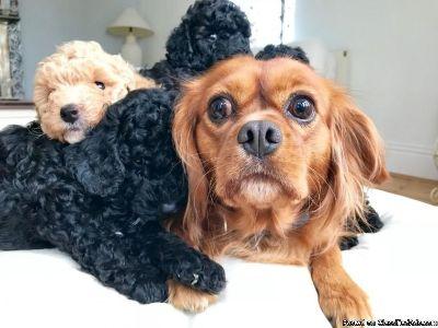 Beautiful F1 Cavapoo Puppies, Pra/ Dna Clear.